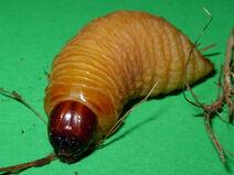 Rhynchophorus ferrugineus larva