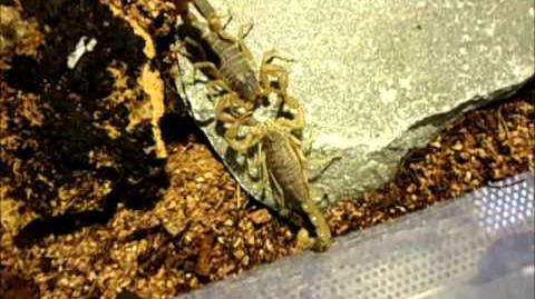 Mesobuthus martensii mating video