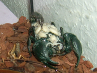 Emperor scorpion with young