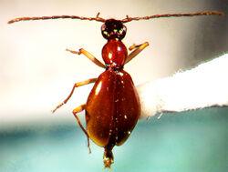 Brathinus nitidus