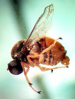 Acrocera sp (cote)