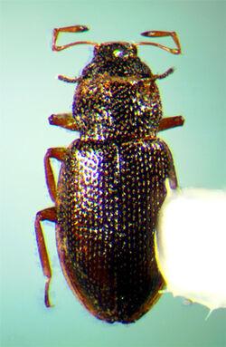 Hydraena angulicollis