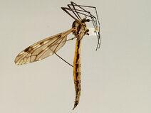 Tipula abdominalis