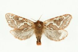 Gazoryctra hyperboreus