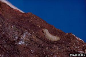 U. gigas flavicornis larva