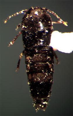 Deinopsis harringtoni
