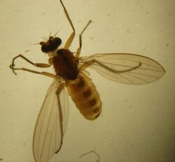 Lonchoptera bifurcata