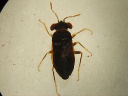 Isthmocoris piceus (Chibougamau) small