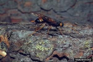 Urocerus gigas flavicornis