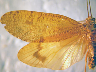 Ptilostomis wings