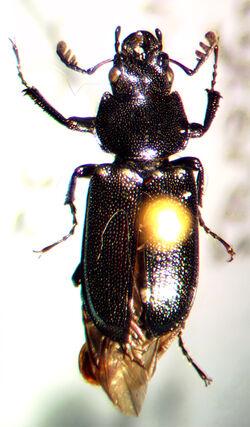 Platycerus decentis