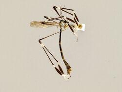 Bittacomorpha clavipes