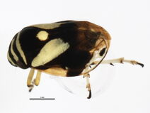 Clastoptera proteus
