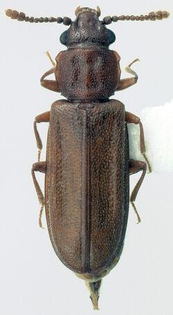 Pediacus subglaber