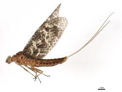 Callibaetis ferrugineus