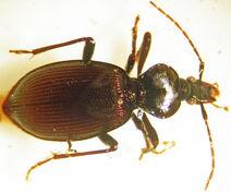 Scaphinotus bilobus