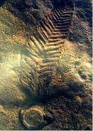 Charniodiscus