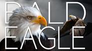 Bald Eagle Title Card