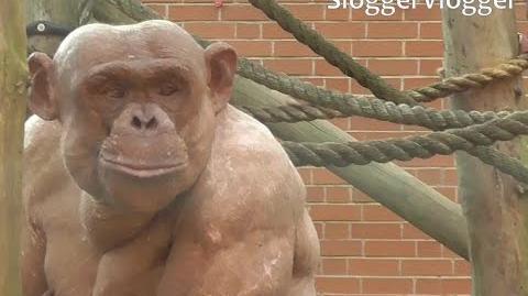 Chimp Fight