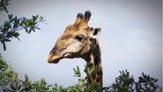 Announcer as Giraffe