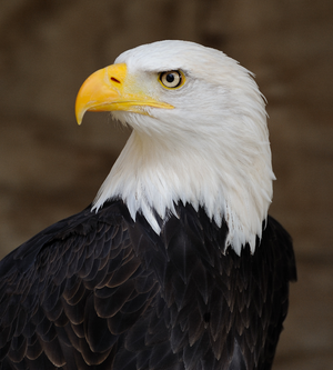 Bald Eagle Based On