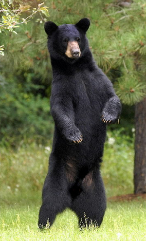 American Black Bear Based On
