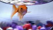 Announcer as goldfish