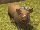 Chopper (Pig)