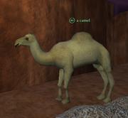 A camel pof