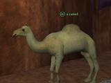 A camel (Pillars of Flame)