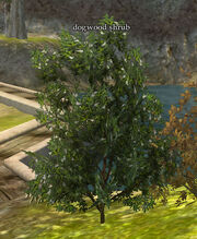 Dogwood-shrub-displayed