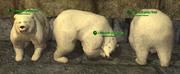 Bear (Berserker) Placed