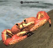 A large shore crab