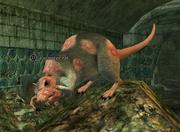 A scourge rat