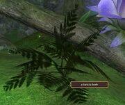 A faeicia herb