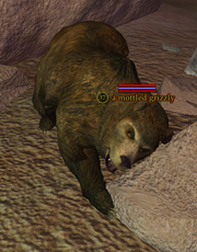 A mottled grizzly