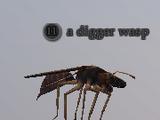 A digger wasp