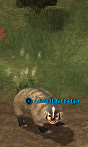 A woodland badger