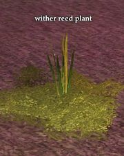 Wither reed plant