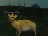 A young antelope