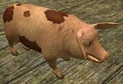 Race pig