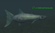 A Coldwind barracuda