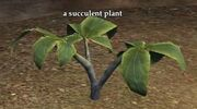 A succulent plant