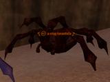 A crag tarantula
