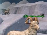 A bighorn sheep