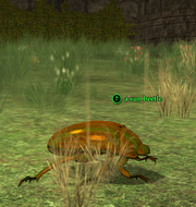 A sun beetle