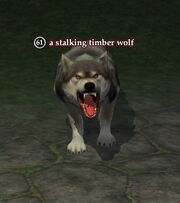 A stalking timber wolf