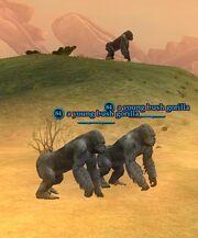 A young bush gorilla