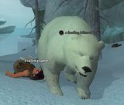 A feeding blizzard grizzly