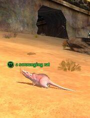 A scrounging rat